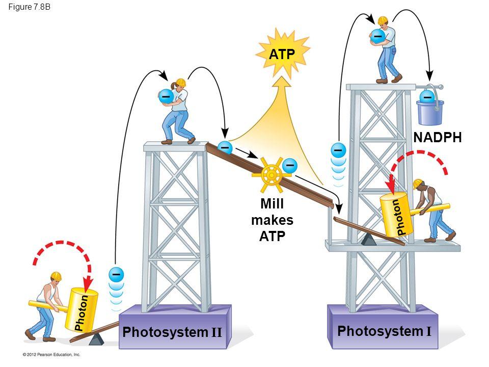 ATP NADPH Mill makes ATP Photosystem II Photosystem I Photon Photon