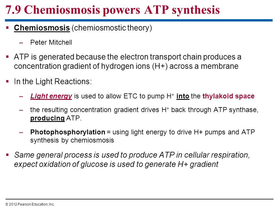 7.9 Chemiosmosis powers ATP synthesis