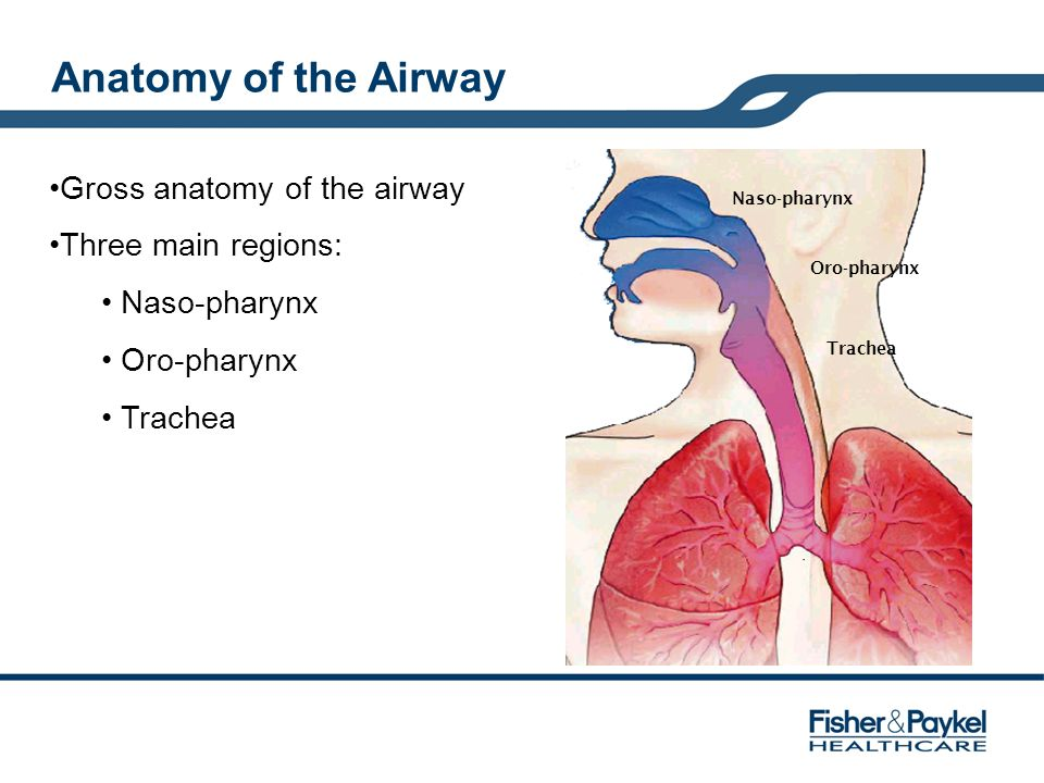 Anatomy of the Airway Gross anatomy of the airway Three main regions: