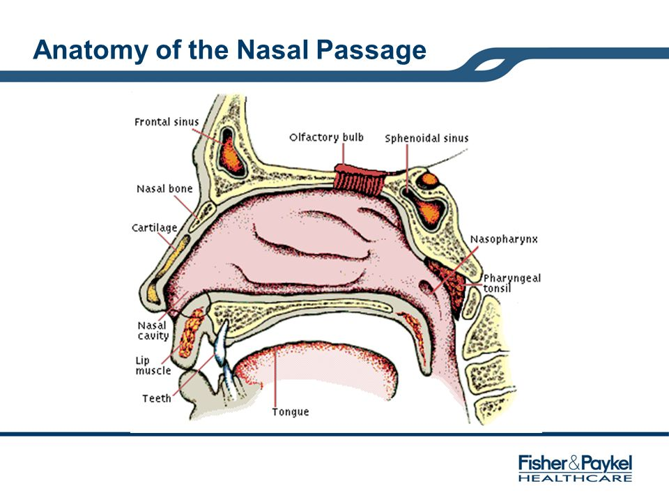Anatomy of the Nasal Passage