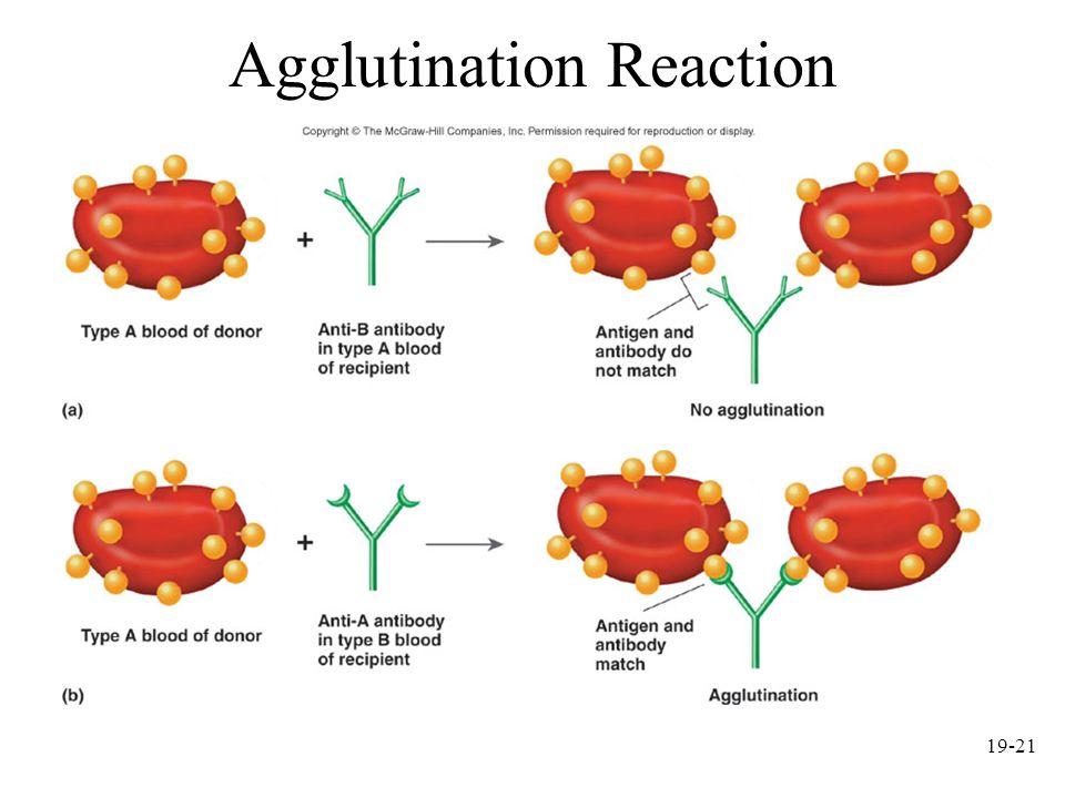 Agglutination Reaction