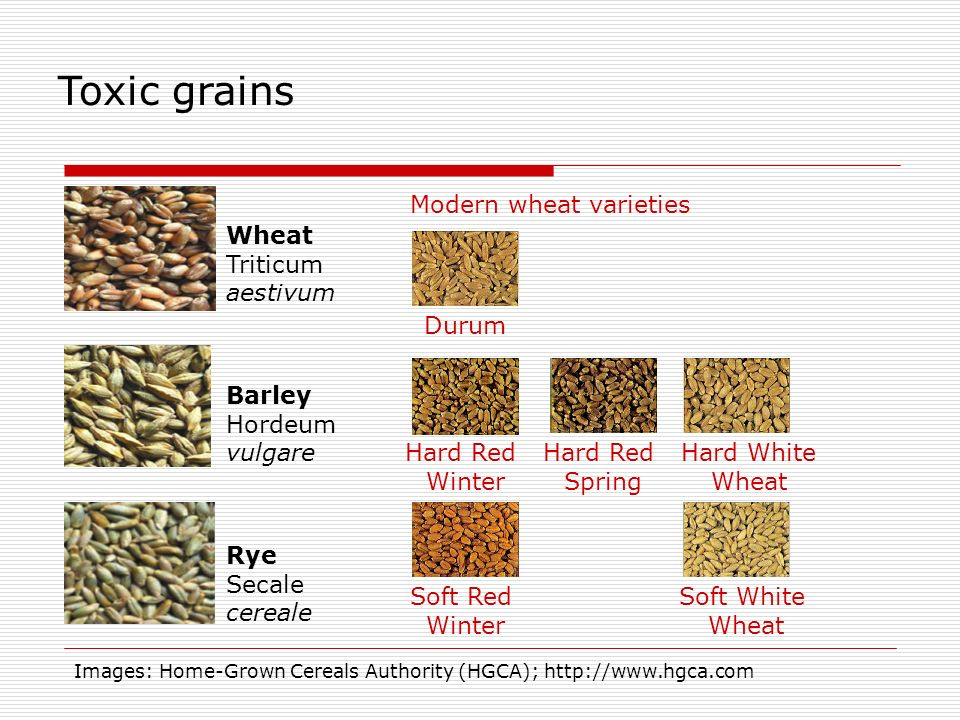 Toxic grains Modern wheat varieties Wheat Triticum aestivum Durum