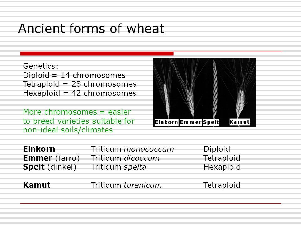 Ancient forms of wheat Genetics: Diploid = 14 chromosomes