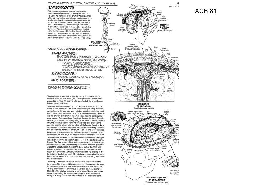 ACB 81 ACB 81 - Meninges
