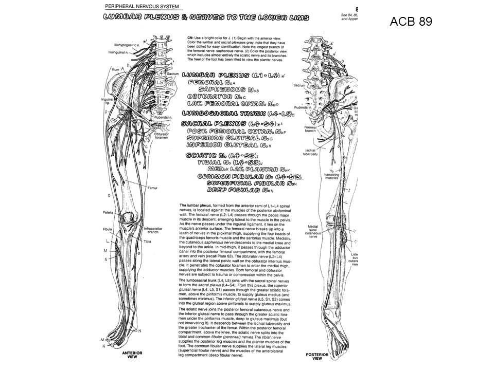 ACB 89 ACB 89 - Lumbar Plexus