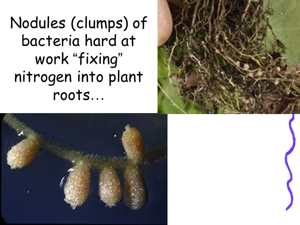 Nodules (clumps) of bacteria hard at work fixing nitrogen into plant roots…