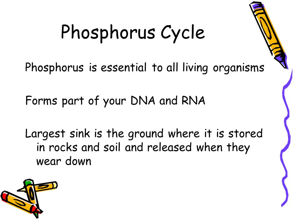 Phosphorus Cycle Phosphorus is essential to all living organisms