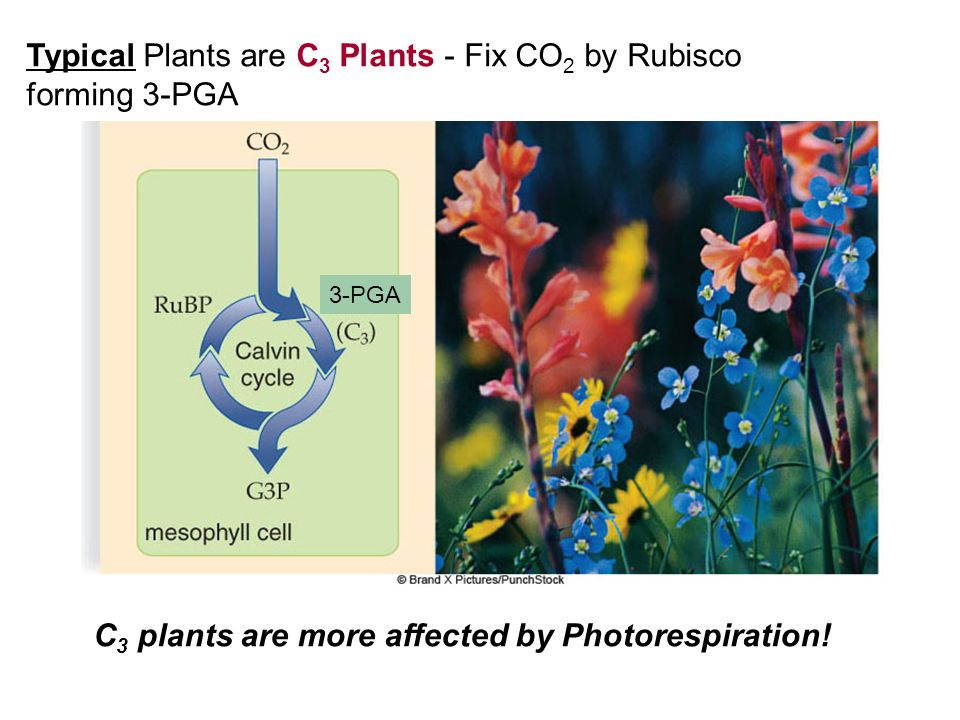Typical Plants are C3 Plants - Fix CO2 by Rubisco forming 3-PGA