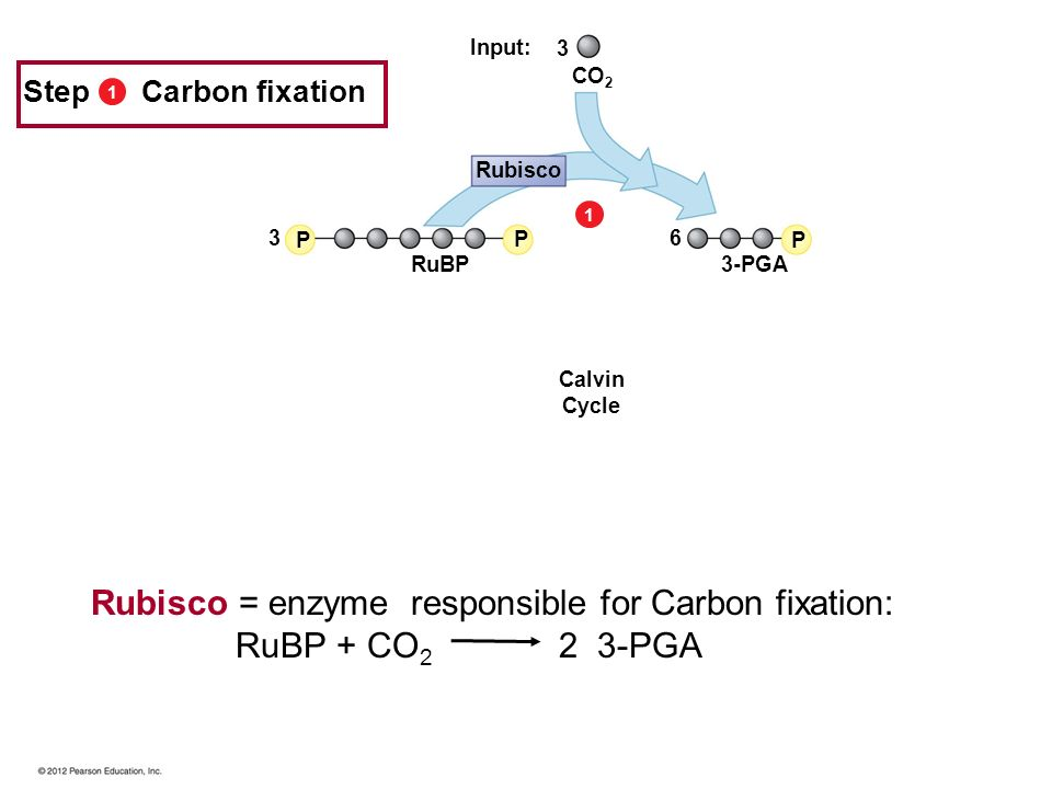 Rubisco = enzyme responsible for Carbon fixation: RuBP + CO2 2 3-PGA