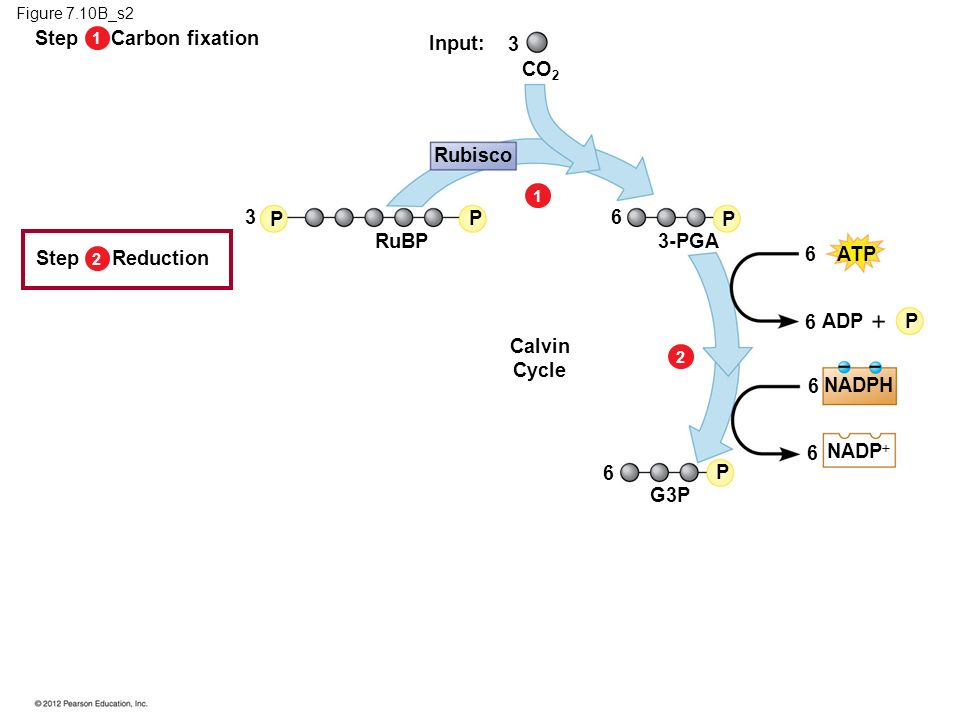Step Carbon fixation Input: 3 CO2 Rubisco 3 P P 6 P RuBP 3-PGA