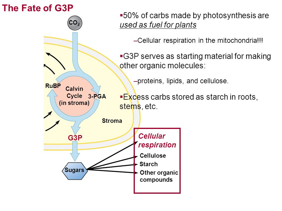 Calvin Cycle (in stroma)