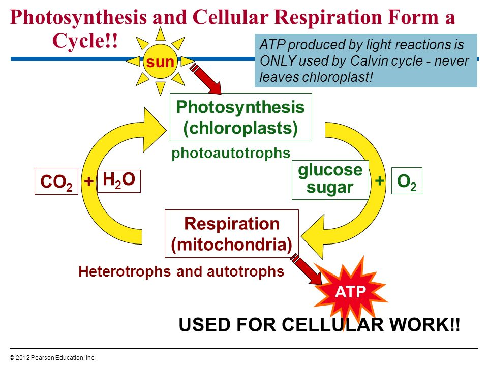 Photosynthesis and Cellular Respiration Form a Cycle!!