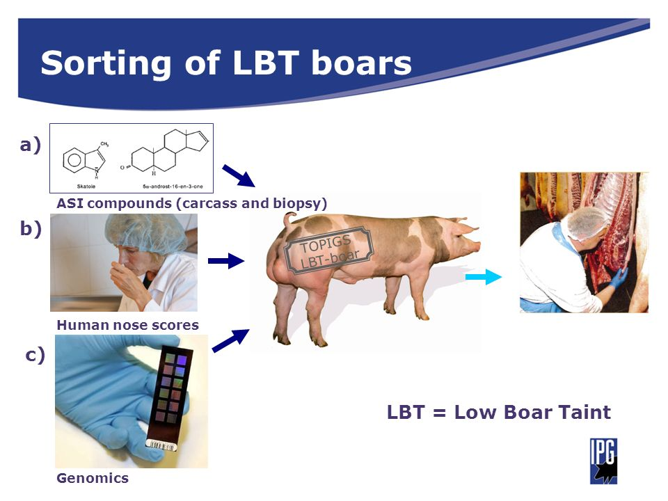 Sorting of LBT boars a) b) c) LBT = Low Boar Taint