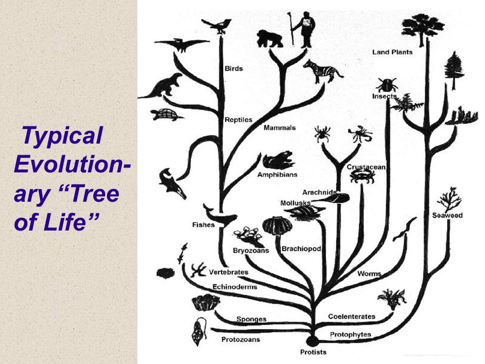 Typical Evolutionary Tree of Life