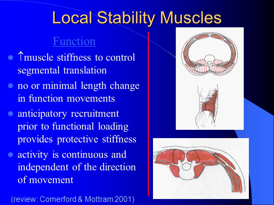 Local Stability Muscles