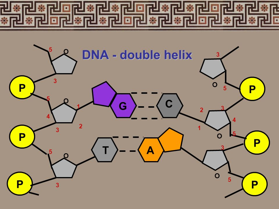 DNA - double helix P O 1 2 3 4 5 P O 1 2 3 4 5 G C T A