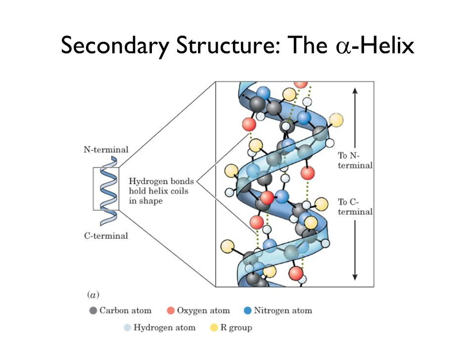 Secondary Structure: The -Helix