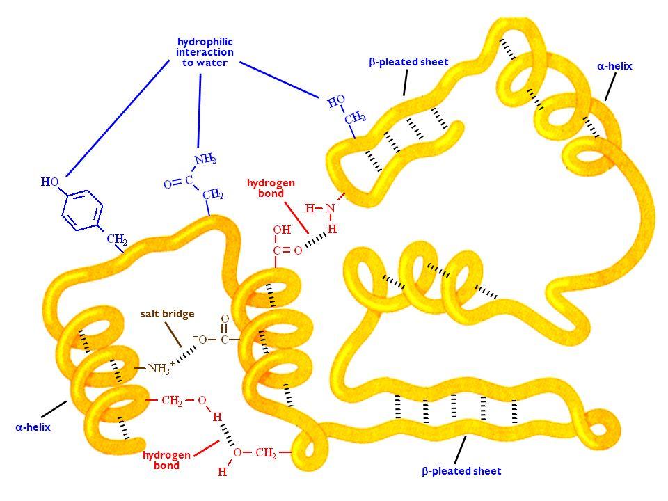 hydrophilic interaction. to water. -pleated sheet. -helix. hydrogen. bond. salt bridge. -helix.