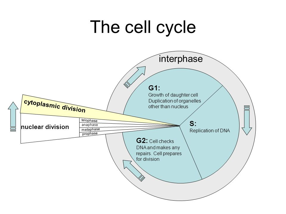 The cell cycle interphase G1: Growth of daughter cell