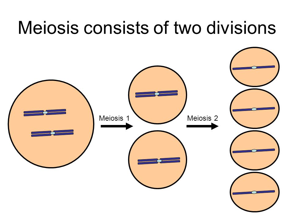 Meiosis consists of two divisions