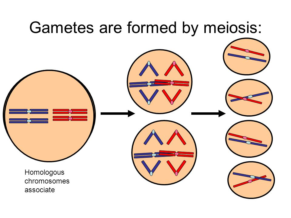 Gametes are formed by meiosis: