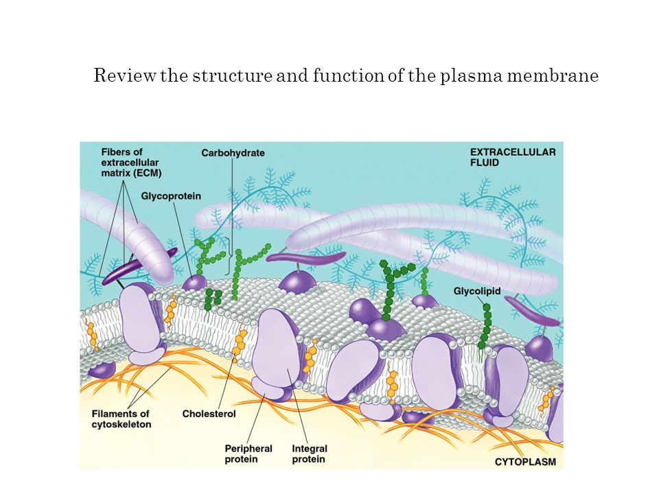 Review the structure and function of the plasma membrane