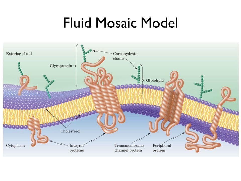 Fluid Mosaic Model Figure 21.2 The fluid mosaic model of membranes.