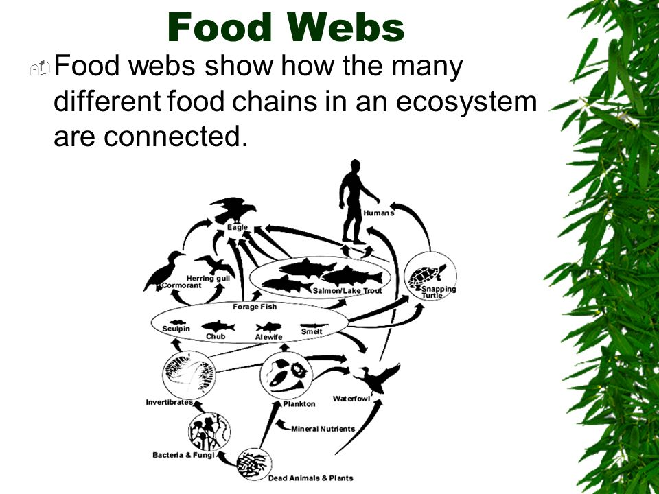 Food Webs Food webs show how the many different food chains in an ecosystem are connected.
