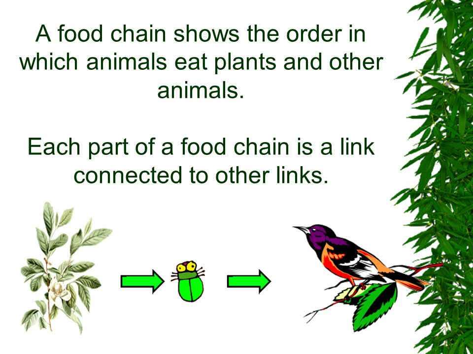 A food chain shows the order in which animals eat plants and other animals.