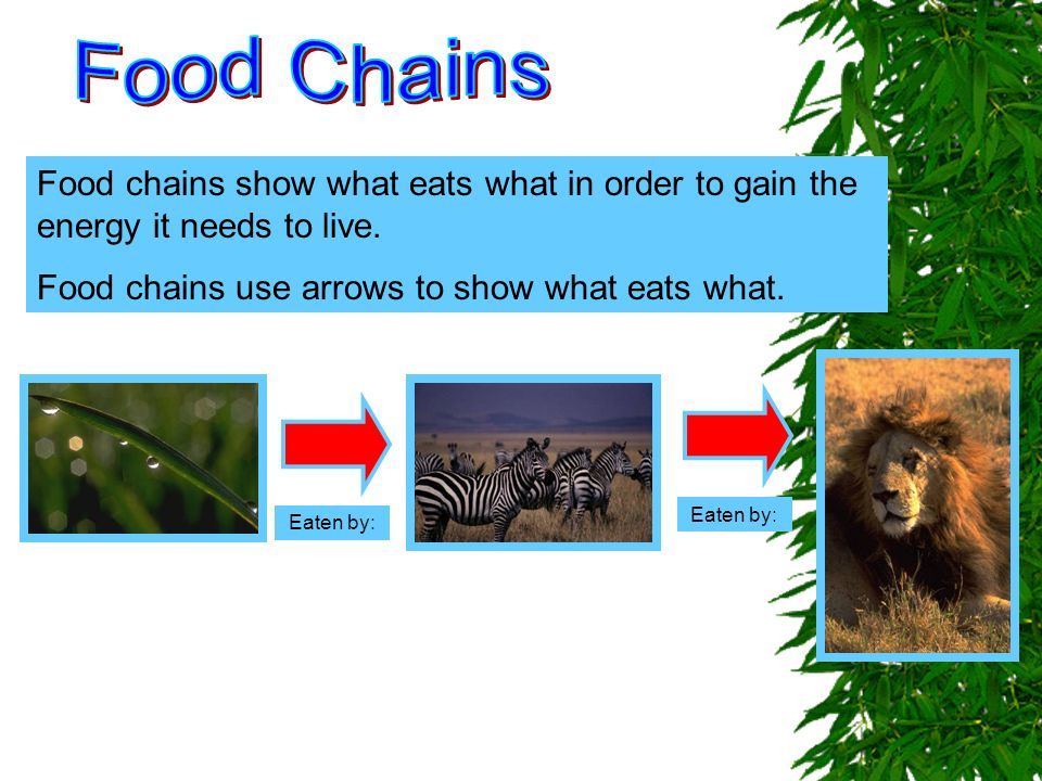 Food Chains Food chains show what eats what in order to gain the energy it needs to live. Food chains use arrows to show what eats what.