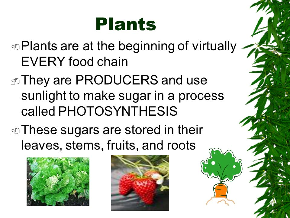 Plants Plants are at the beginning of virtually EVERY food chain