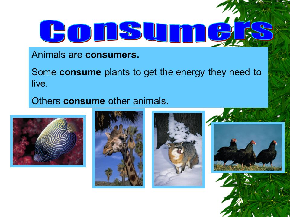 Consumers Animals are consumers.