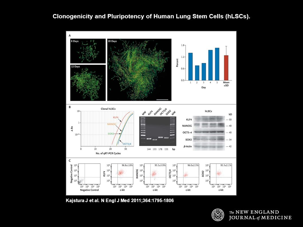 Clonogenicity and Pluripotency of Human Lung Stem Cells (hLSCs).