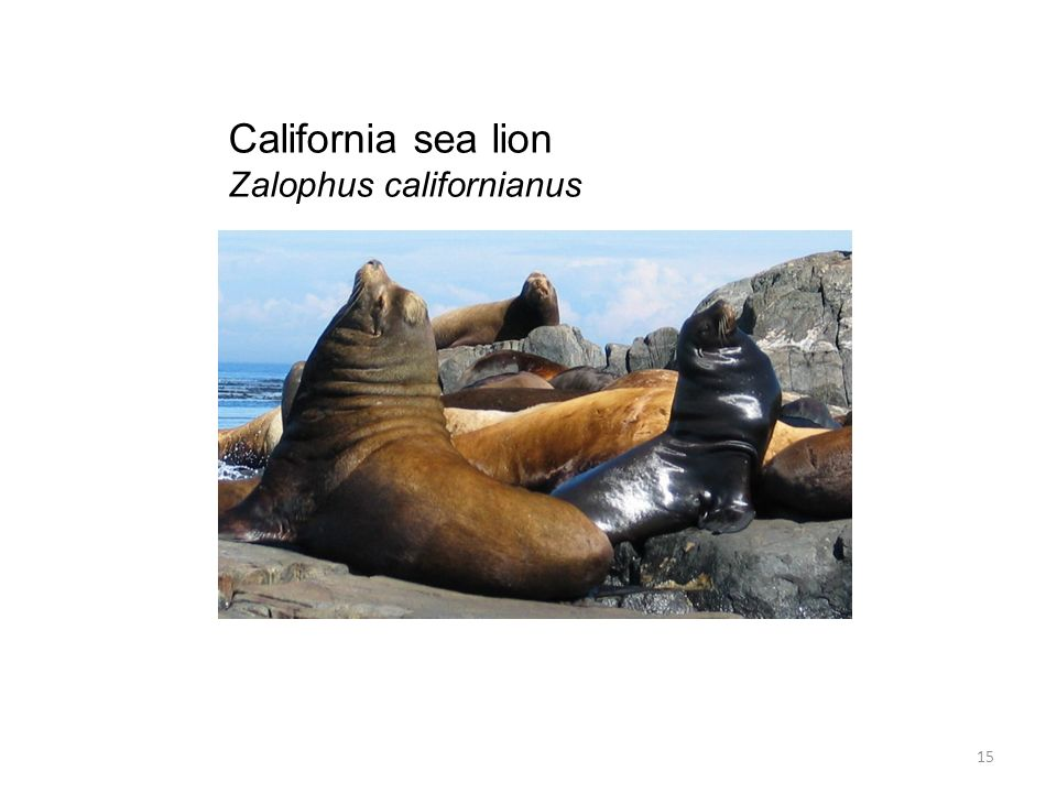 California sea lion Zalophus californianus