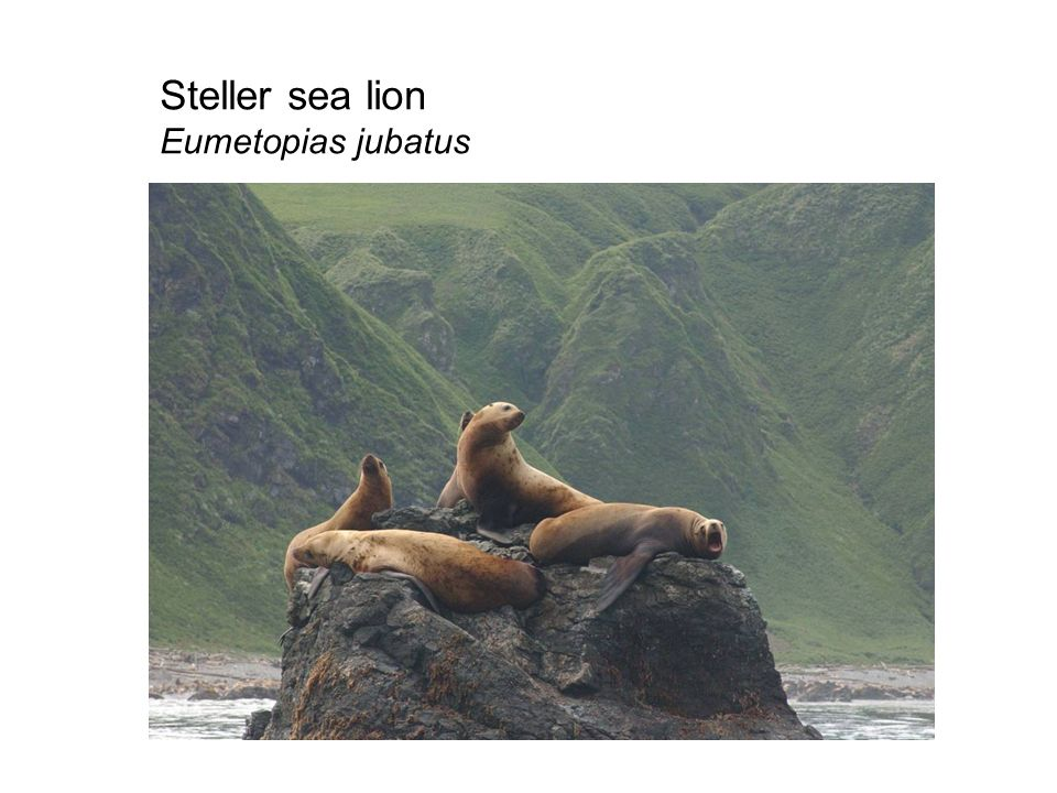 Steller sea lion Eumetopias jubatus