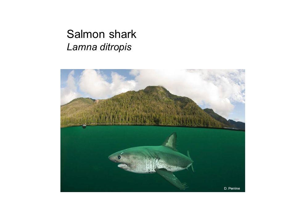 Salmon shark Lamna ditropis D. Perrine