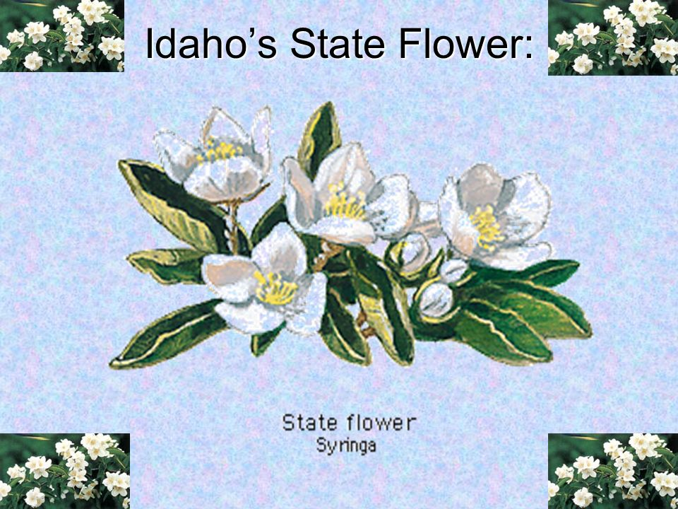 Idaho's State Flower: