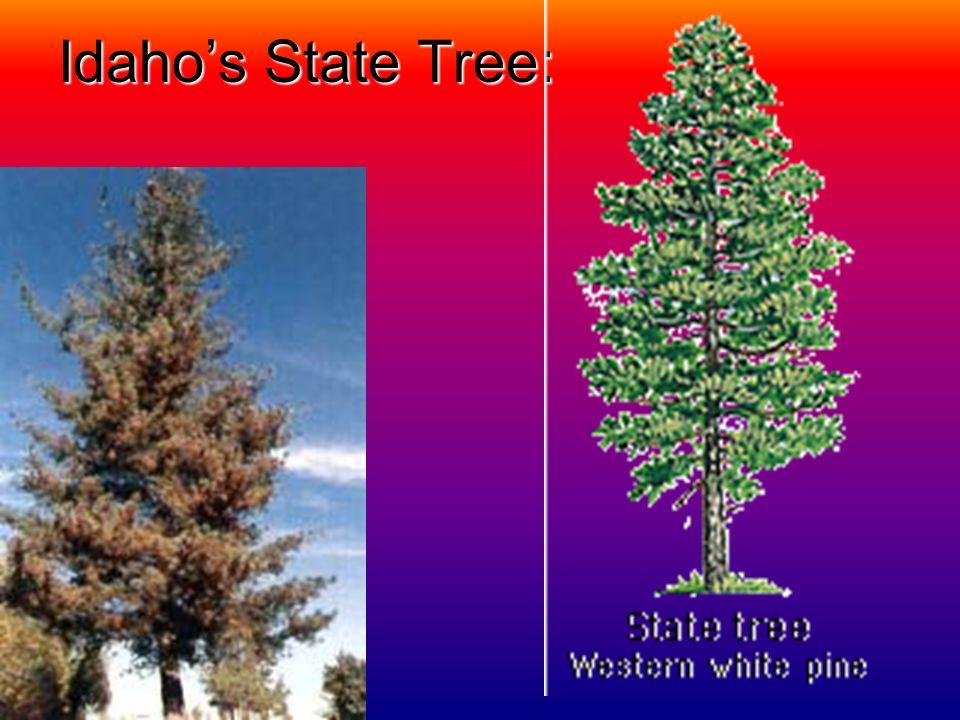 Idaho's State Tree: