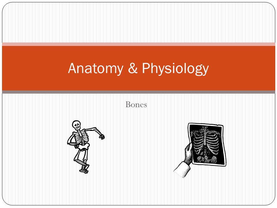 Anatomy & Physiology Bones