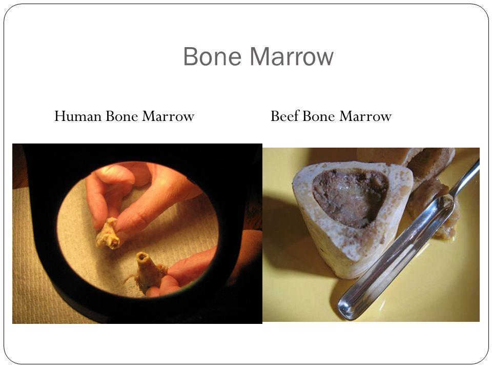 Bone Marrow Human Bone Marrow Beef Bone Marrow
