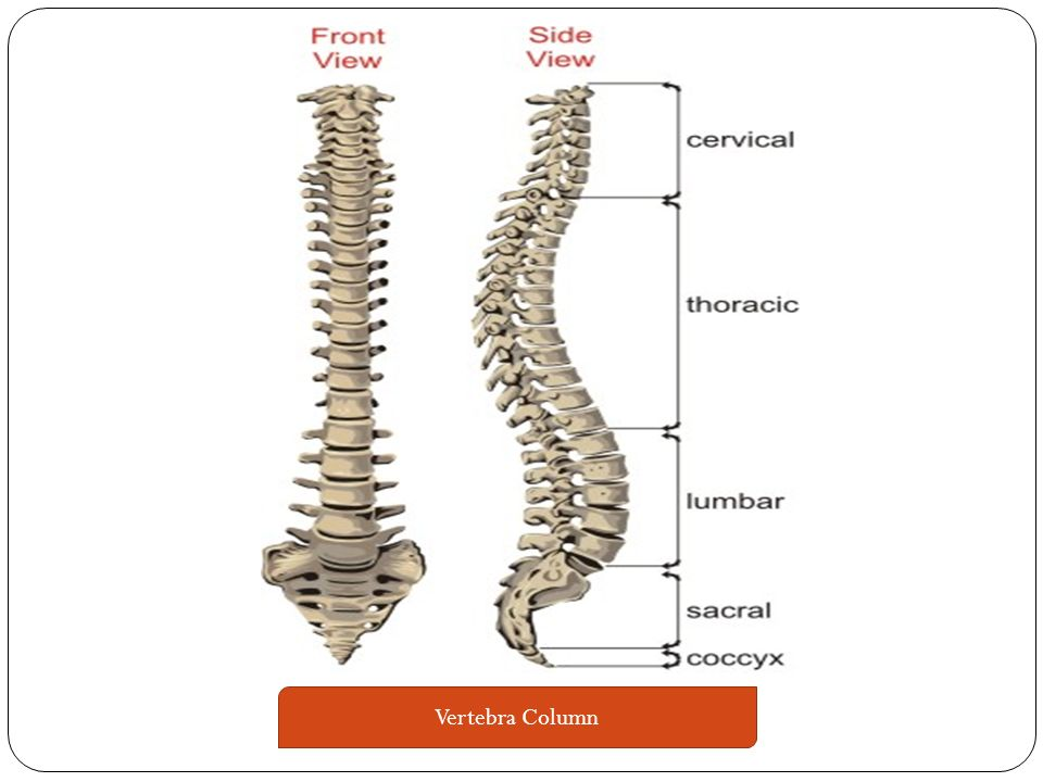 Your vertebrae column or spinal Column – is divided up into 5 parts-