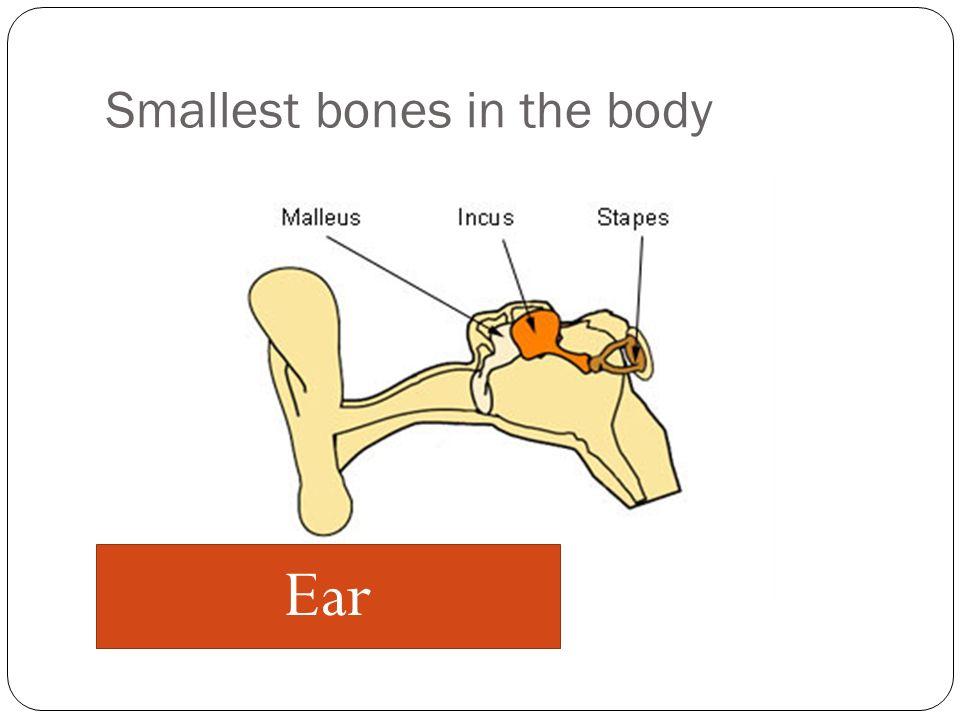 Smallest bones in the body