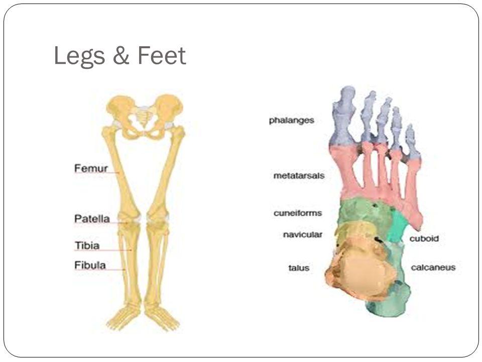 Legs & Feet The Femur is the longest bone in the body.