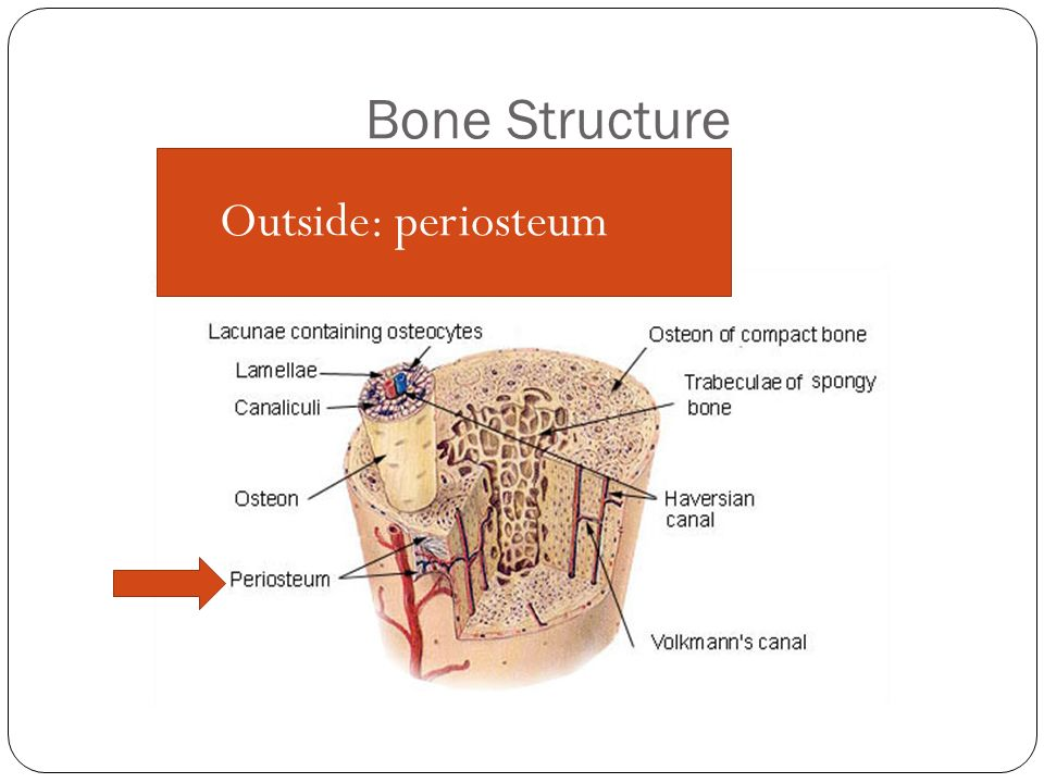 Bone Structure Outside: periosteum