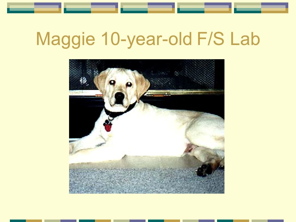 Maggie 10-year-old F/S Lab