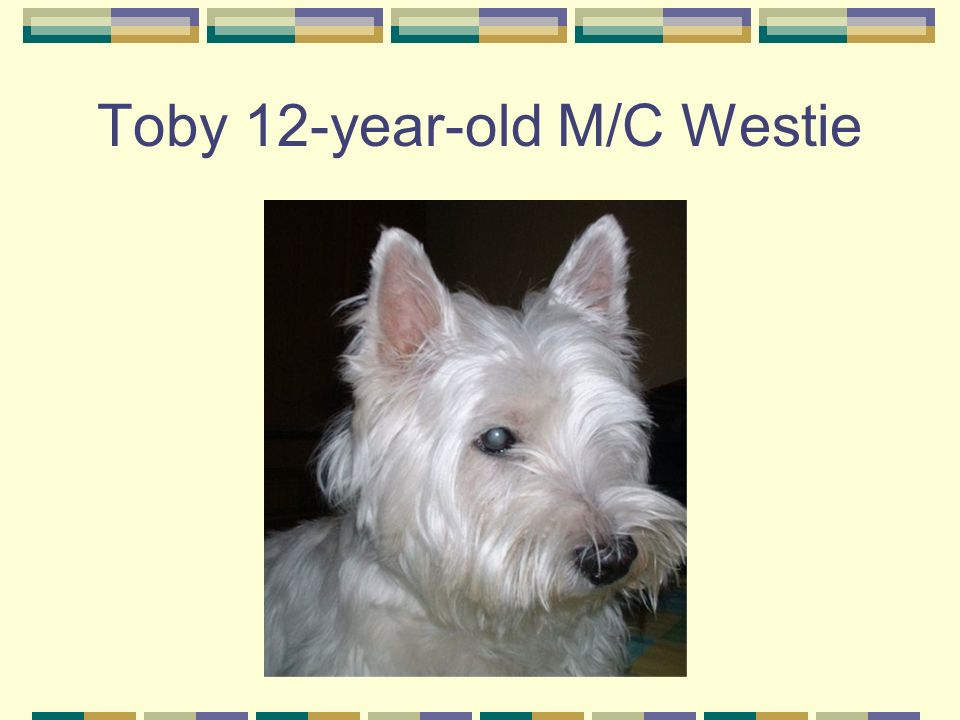Toby 12-year-old M/C Westie