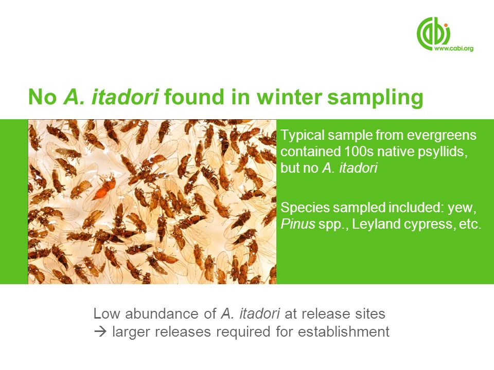 No A. itadori found in winter sampling