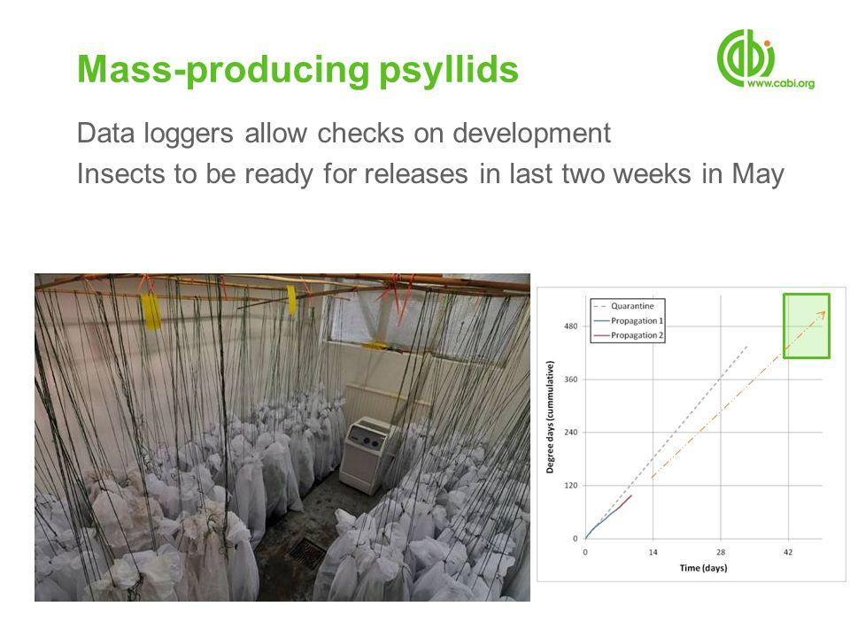 Mass-producing psyllids