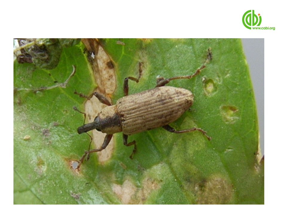 For which a South American weevil looks to be very promising