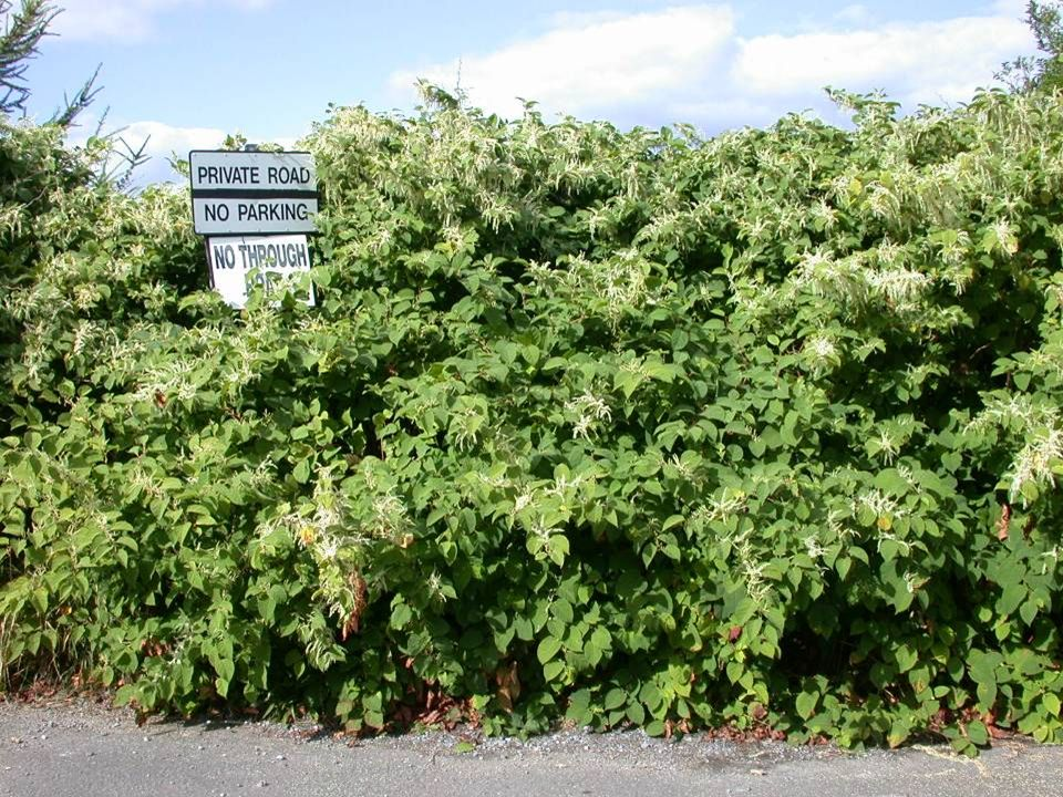 This is a typical shot of the unruly knotweed ignoring the rules of the road and as one of the worst weeds in the world it was an excellent candidate for the first target for this approach in the EU.